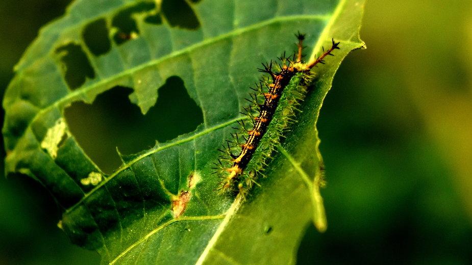 Gąsienice mogą wyrządzić duże szkody w ogrodzie - abhinetra routhu/EyeEm/stock.adobe.com