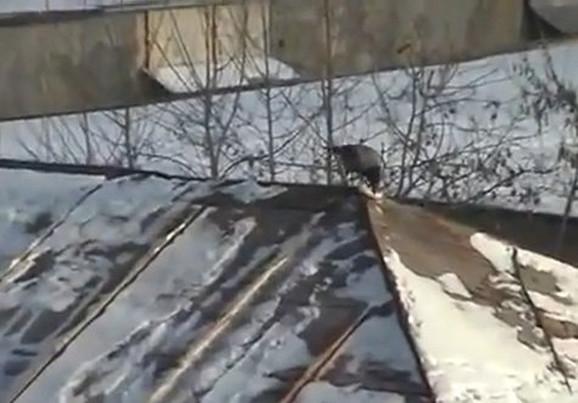 Vrana najpre stane na poklopac od tegle...