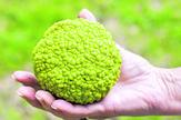 green-hedge-apple-osage-orange-450w-280480070