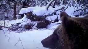 Niedźwiedzie w Bieszczadach nie chcą spać - jeden zdemolował kamerę leśników