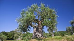 Ponad 2450-letnie drzewo oliwne z Alentejo, drugim najstarszym drzewem w Portugalii