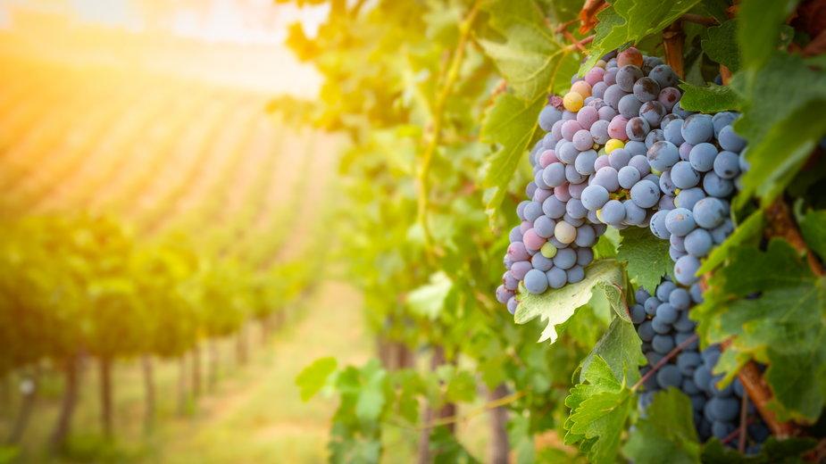 Winogrona można sadzić wiosną i jesienią -  Andy Dean/stock.adobe.com