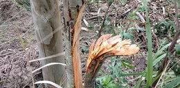 Ktoś zniszczył ponad 400 młodych drzew. Niespotykany akt wandalizmu