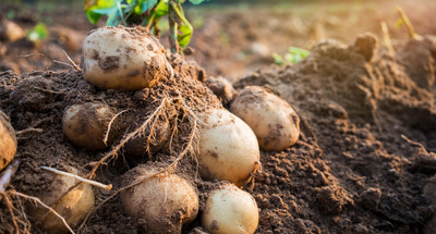 Ziemniaki - doskonałe źródło energii, białka i witamin