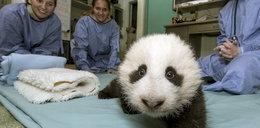 Ta mała panda rozbraja!