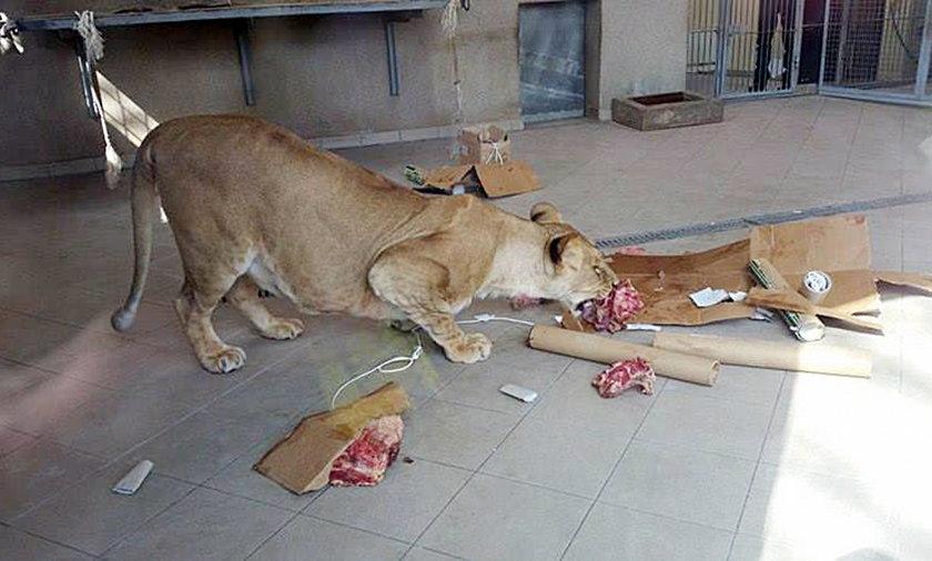 Zajączek przyszedł do zwierząt w chorzowskim Zoo