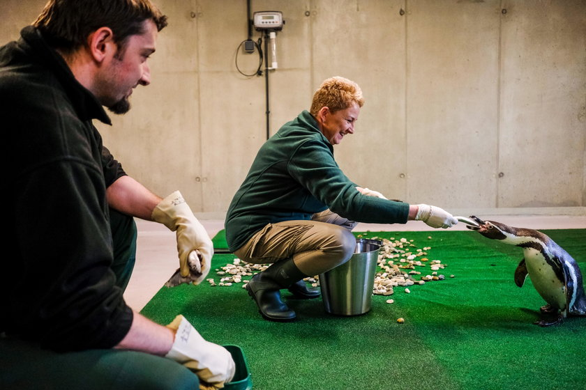 Chorzów. Śląski Ogród Zoologiczny po 43 latach ma pingwiny