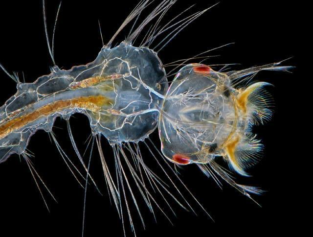 Larwa komara we wczesnym stadium rozwoju w 10-krotnym powiększeniu