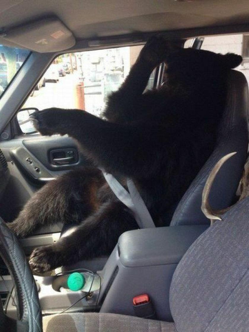 Udomowione niedźwiedzie jeżdżą samochodem