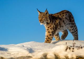 W Podkarpackiem obok siebie żyją duże drapieżniki i wielkie ssaki. To fenomen na skalę Polski