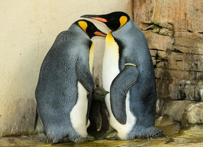 Two king penguins and their chick stand in their enclosure in the zoo of Schoenbrunn in Vienna