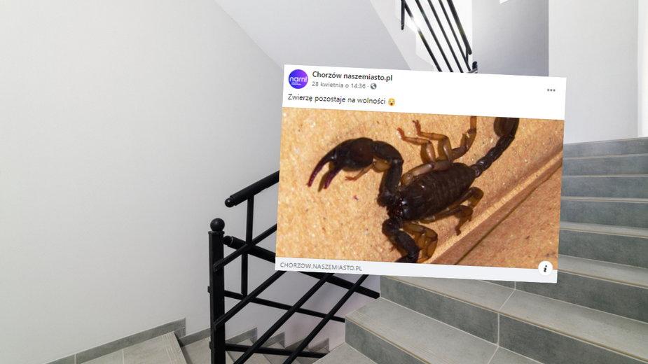 Na klatce schodowej w Chorzowie znaleziono skorpiona