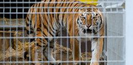 Wielka radość w poznańskim zoo! Jest decyzja ws. uratowanych tygrysów