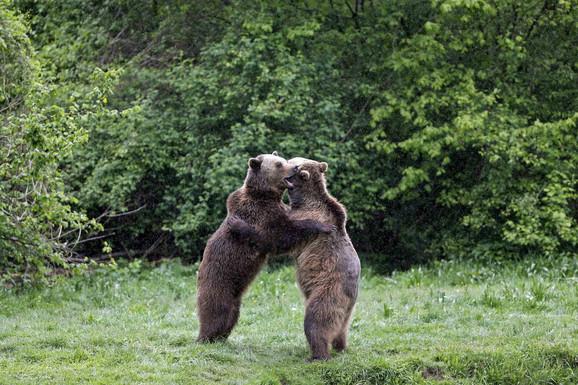 Medvedi u zagrljaju