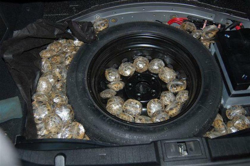 1000 żółwi w samochodzie osobowym