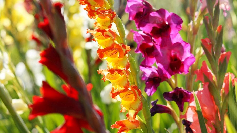 Gladiole to bardzo efektowne rośliny - pixelunikat/stock.adobe.com