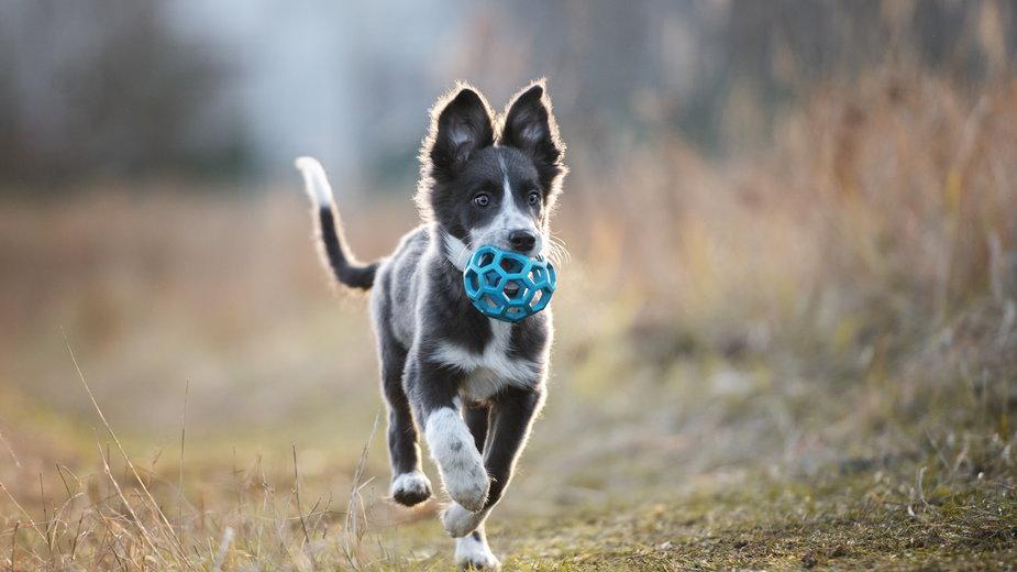 Psy chętnie bawią się różnymi akcesoriami - otsphoto/stock.adobe.com