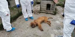 """""""Pseudohodowla śmierci"""" w Starej Hucie. Na posesji blisko 250 martwych psów. Aresztowano małżeństwo"""