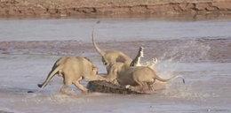 Krokodyl kontra trzy lwy!