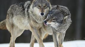 Norwegia: chcą odstrzelić 70 proc. wilków, choć to gatunek krytycznie zagrożony