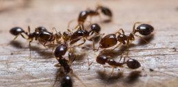 Mrówki w domu? Wystarczy ogórek by się ich pozbyć!