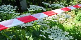 Ten trujący chwast rośnie w Lublinie. Uważaj, bo możesz się dotkliwie poparzyć!