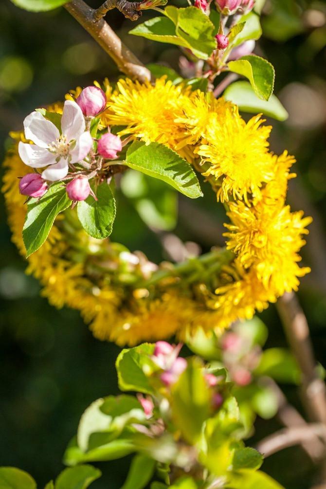 I dan danas pletemo ivanjdansko cveće
