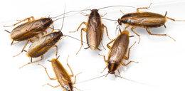 Inwazja karaluchów w okolicach Świebodzina