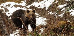 Uwaga! Niedźwiedzie budzą się w Bieszczadach!