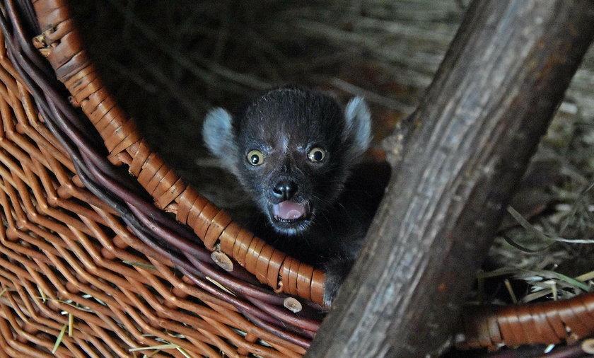 Narodziny małego lemurka