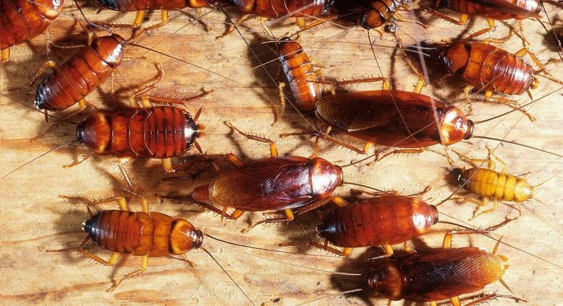Getting rid of cockroaches(Jim's Pest Control Adelaide)
