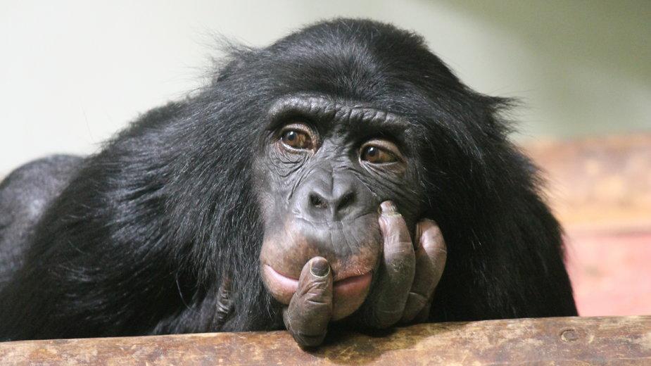 Holandia: kobieta dostała zakaz romansowania z szympansa w zoo