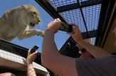 AP_lavovi_kavez_safari_vesti_blic_safe