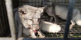 Obrońcy zwierząt uratowali srebrne lisy z hodowli pod Łodzią. Już nikt nie zrobi z nich futra!