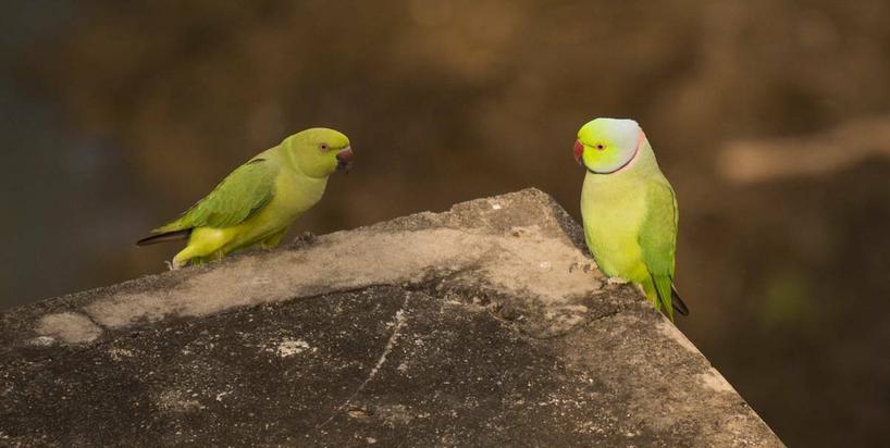 Coraz więcej papug w polskich miastach. Ekspert: Naśladują dźwięki karetek, dają łomot szpakom