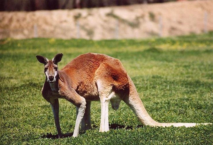 Kengur Wikipedia Public domain