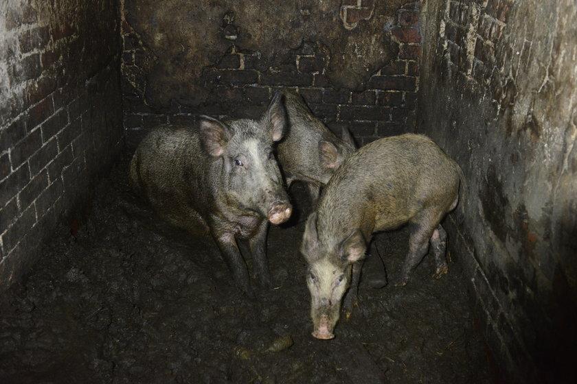 Świniodziki