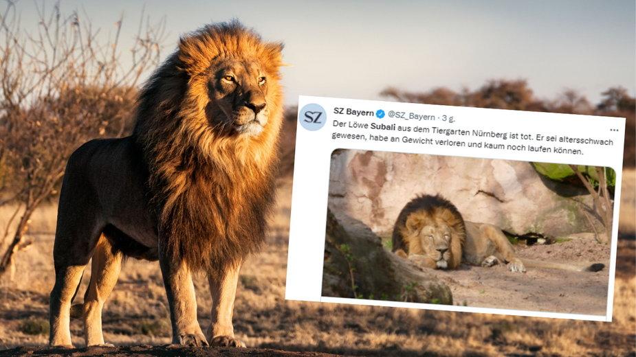 Słynny lew Subali z zoo w Norymberdze został uśpiony
