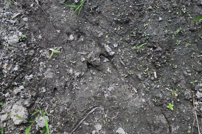 Głodne dziki znad Wieprza