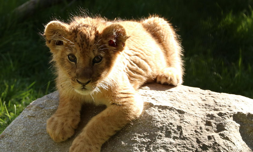 Lwiątka to urocze i słodkie zwierzęta