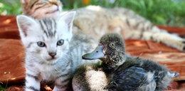 Kotka wychowuje kaczkę. ZDJĘCIA!
