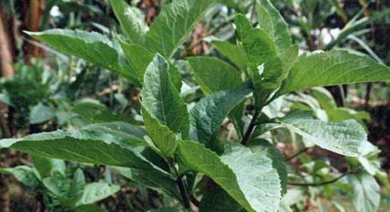 The health benefits of this plant are miraculous [Daily Advent]