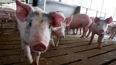 Resort rolnictwa ma pomysł jak zwiększyć hodowlę polskich świń