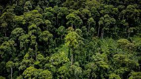 Najwyższe na świecie tropikalne drzewo znajduje się na Borneo - jest tak wysokie jak trzy płetwale błękitne