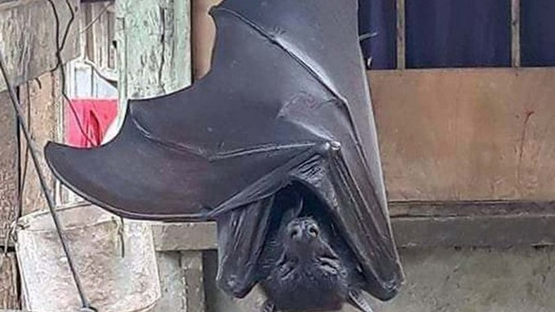 Photo of huge bat with 'human-size' is giving people nightmares