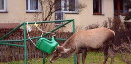 Nie żyje jeleń, który w Zakopanem chodził z huśtawką w porożu
