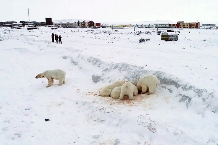 beli medvedi