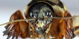 Ten owad budzi niepokój i spędza ogrodnikom sen z powiek. Może być pożyteczny?