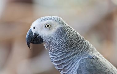 ízületi gyulladás papagájban duzzadt és fájdalmas ízület a kisujján