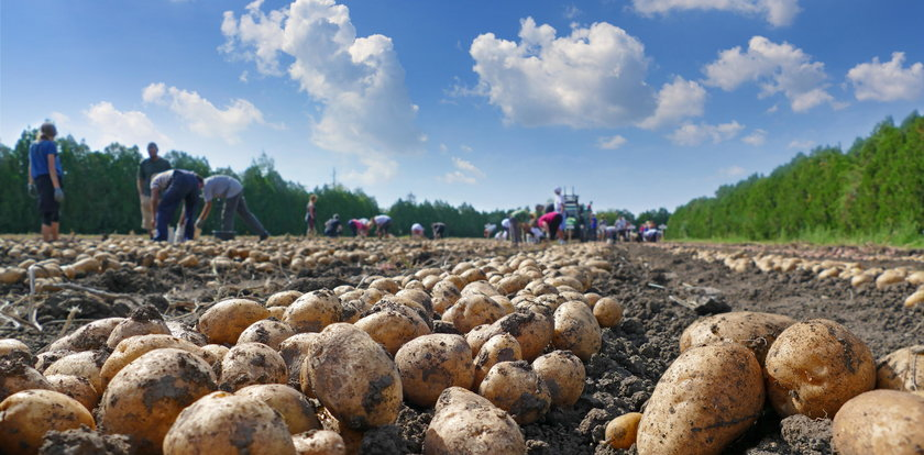 Ukraińcy wykupują polskie ziemniaki
